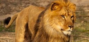 leon-enamorado