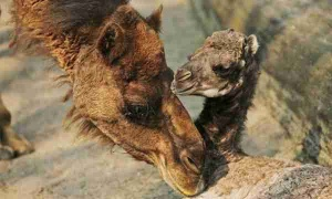 camello cria